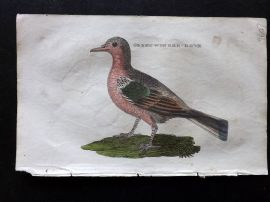 Brightly 1815 Antique Hand Col Bird Print. Green Winged Dove